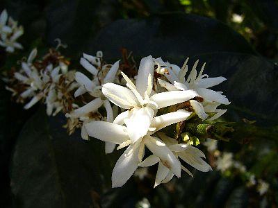 これはコスタリカの農園のコーヒーの花です